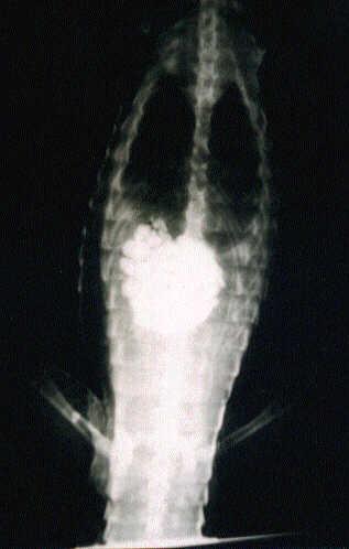 croc gastrolith x-ray.jpg