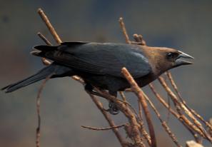 IobCowbird1-1