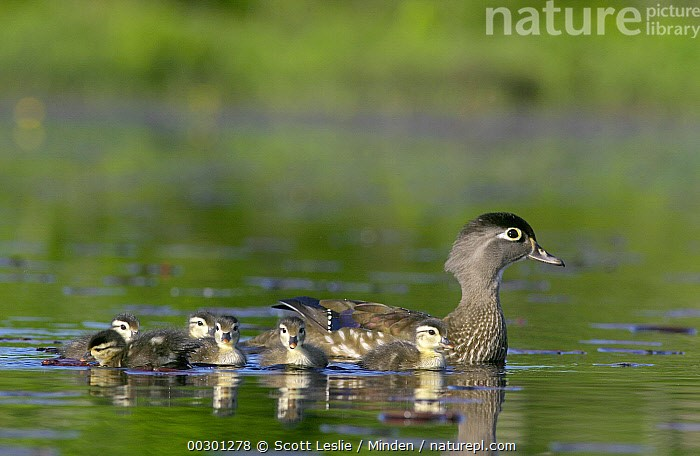 Wood Duck (Aix sponsa) mother with young, Belleisle Marsh, Annapolis Valley, Nova Scotia, Canada, Adult, Aix sponsa, Annapolis Valley, Baby, Belleisle Marsh, Canada, Chick, Color Image, Day, Duckling, Female, Full Length, Horizontal, Medium Group of Animals, Mother, Nobody, Nova Scotia, Outdoors, Photography, Pond, Side View, Swimming, Waterfowl, Wildlife, Wood Duck,Wood Duck,Canada, Scott Leslie